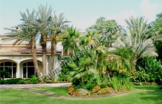 The Largest Multi-Trunk Medjool Date Palm Tree