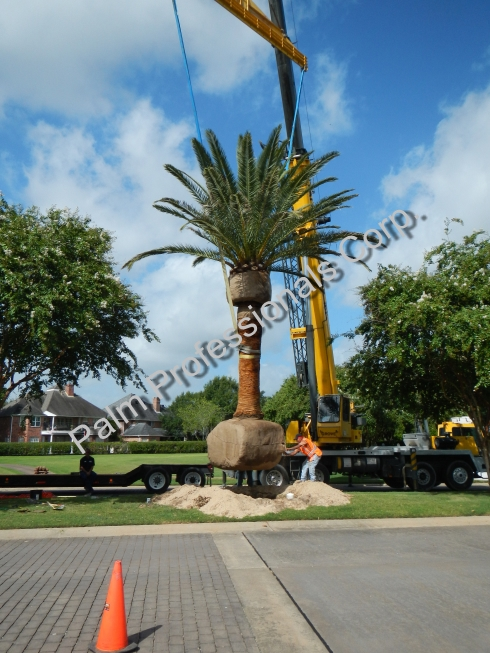Canary Island Date Palm Supply Company And Professional Installation Company