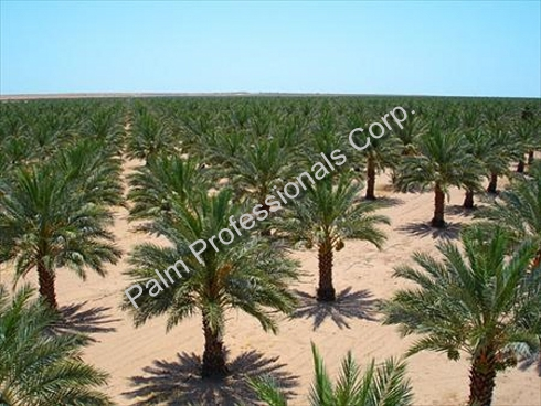 Palm Tree Growing Field Of Phoenix Dactylifera Medjools