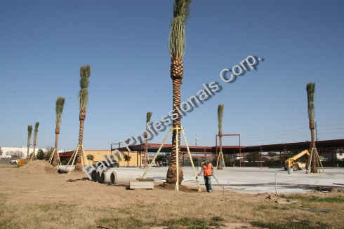 Medjool Date Palms Wholesale In Texas