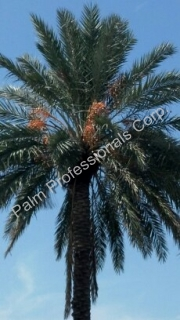 Medjool Date Palm Trees Installed Naear Houston, Texas For The City Of Deer Park