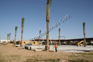 Commercial - Wholesale Medjool Date Palm Installation - Phoenix Dactyliferas