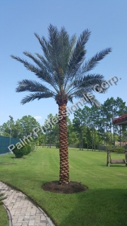 Buying Phoenix Dactylifera Medjool Date Palm Tree