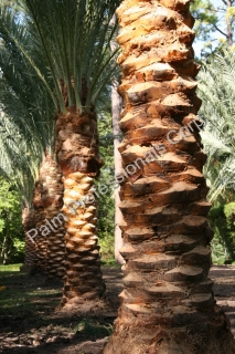 Medjool Date Palm Trees Purchased And Installed From The Palm Professionals Company