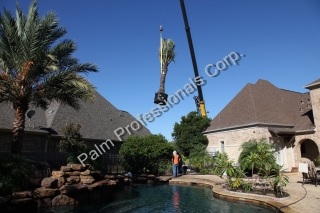 Medjool Date Palm Trees Installed Over Top Of House In Texas
