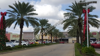 Residential Medjool Date Palm Trees Installed In North Texas - North Houston