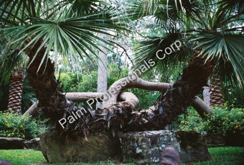 Rare And Specimen Palm Trees For Sale